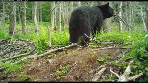 Adult black bear in clearing in the woods, shot from behind with bear looking off to the right. Trees in background, earth and bare fallen branches in foreground.