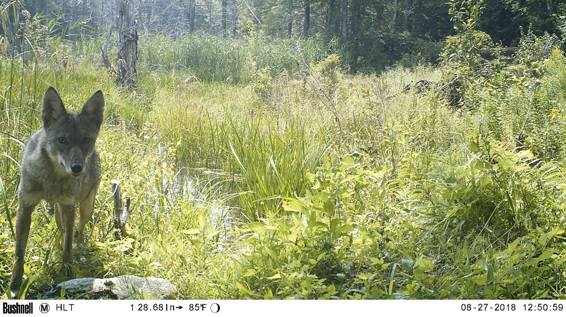 Coyote standing in front of grasses and wetlands, looking into camera