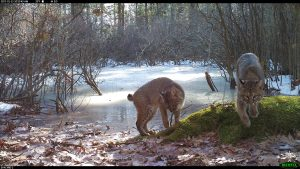 Two bobcats on a mossy rock with an iced over vernal pool behind them