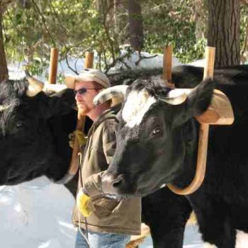 Tom stands between two large oxen with yokes on in winter time