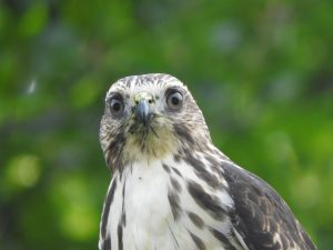 Broad-winged hawk from chest up, looking directly into the camera. Out-of-focus greenery in the background.
